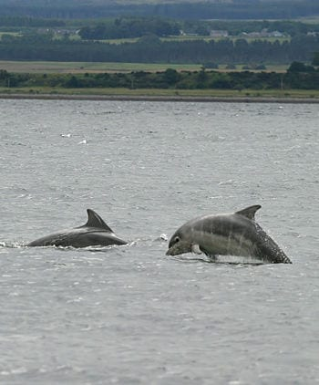 Baby bottlenose dolphin shannonry point 2006 (Photo credit: Wikipedia)