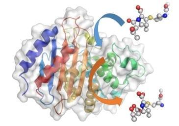 A carbapenem molecule, a last resort antibiotic, enters the carbapenemase enzyme (blue arrow), where the crucial beta-lactam structure gets broken down. The ineffective molecule then leaves (orange arrow)