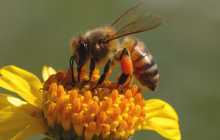 Discovery Aims to Fight Destructive Bee Disease
