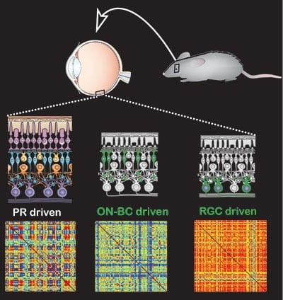 In normal mice with working photoreceptors (PR driven), stimulating the retina produces a variety of responses in retinal ganglion cells, the output of the eye. This can be seen in the colorful lower square, where measurements of the activity of different retinal ganglion cells are shown in response to the same stimulation. Photoswitches inserted into retinal ganglion cells (RGC) of blind mice produce much less variety of response (all evenly red means the cells fire at the same time), while blind mice with photoswitches inserted into bipolar cells (ON-BC driven) exhibit much more variety in their retinal response to light, closer to that of normal mice.