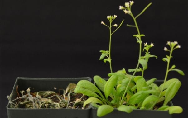 Sean Cutler's lab introduced the engineered receptor into transgenic Arabidopsis to establish if it was sufficient to improve survival after drought, one measure of drought tolerance. The transgenic (right) but not non-transgenic plants (left) show improved survival after an extended drought. In this experiment water is withheld for 12 days, which cause severe wilting, and the plants are then re-watered to assess survival.