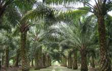 Oil palm offers cheap biofuels and bioplastics