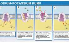 Ion pump gives the body its own pain alleviation