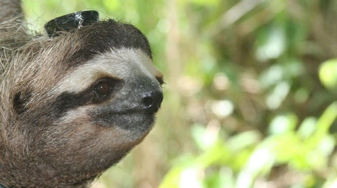 Visiting scientists from the Max Planck Institute of Ornithology used the Automated Radio Telemetry System on the Smithsonian's Barro Colorado Island in Panama to monitor sleep in wild sloths as they moved through the forest. (Photo by Niels Rattenborg, Max Planck Institute for Ornithology)