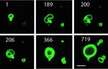Scientists Create Synthetic Membranes That Grow Like Living Cells