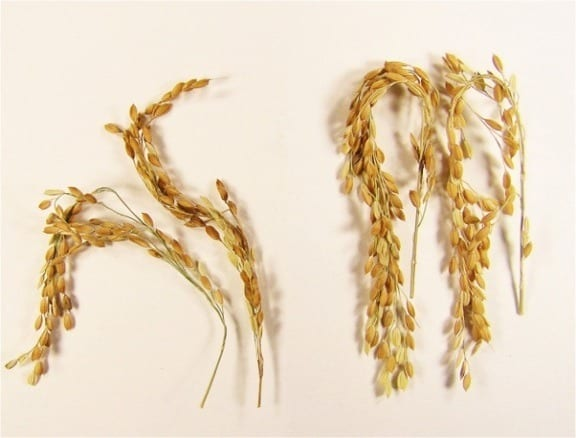 In addition to a near elimination of greenhouse gases associated with its growth, SUSIBA2 rice produces substantially more grains for a richer food source. The new strain is shown here (right) compared to the study's control. Image courtesy of Swedish University of Agricultural Sciences