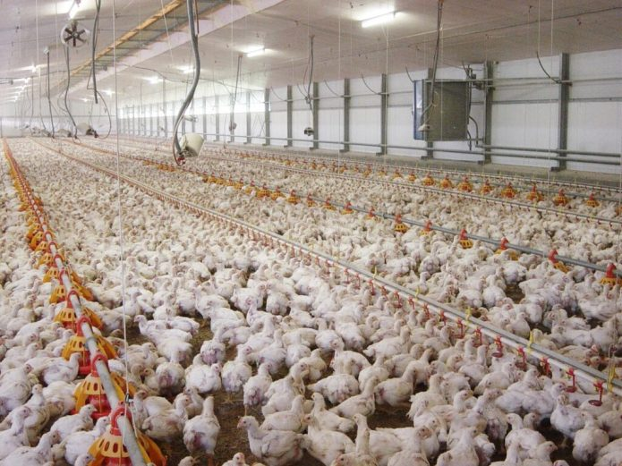 THIS IMAGE SHOWS CHICKENS IN AGRICULTURAL PRODUCTION. view more CREDIT: ANDREW READ, PENN STATE UNIVERSITY