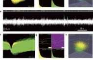 UGA's Regenerative Bioscience Center collaborates in development of brain-friendly interfaces