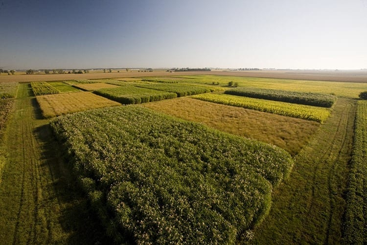 Biofuel crops grown at the University of Illinois