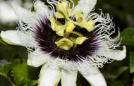 Trade in invasive plants is blossoming