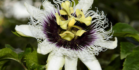 Pretty invasive: Passiflora edulis, or passionfruit, is an attractive ornamental plant, native to Brazil, Paraguay and Argentina. (image: Leonardo Ré Jorge / Wikimedia Commons)