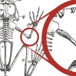 Regenerative Medicine: Regrowing functional joints in frogs