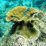 Laboratory-bred corals reproduce in the wild - hope returns to the Caribbean