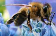 Do Honeybees Feel? Scientists Are Entertaining the Idea