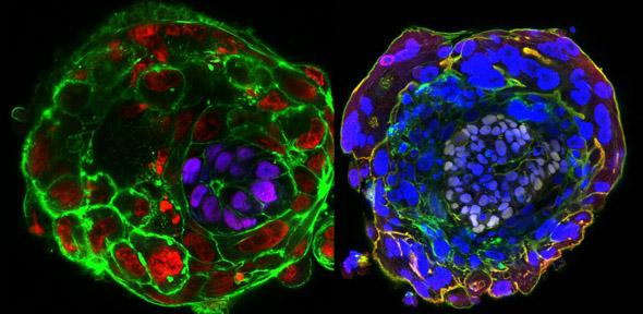 Imaging a human embryo in the absence of maternal tissues - day 10 (left) and day 11 (right) Credit: Zernick-Goetz lab, University of Cambridge