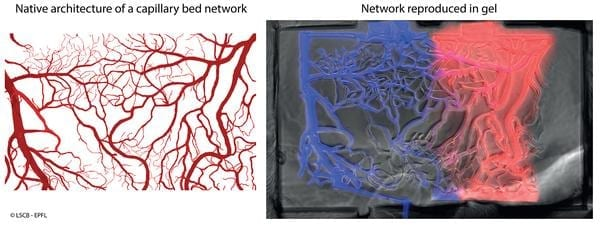 Left: Representative image of a brain capillary network. Right: network reproduced in a biocompatible gel using laser fabrication.