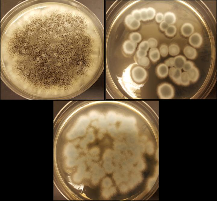The fungi Aspergillus niger (top left), Penicillium simplicissimum (top right) and Penicillium chrysogenum (bottom) can recycle cobalt and lithium from rechargeable batteries. CREDIT Aldo Lobos