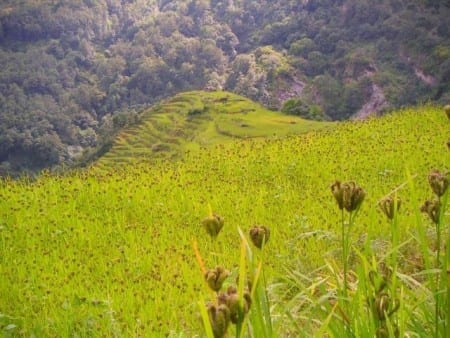 Finger millet fields via University of Guelph