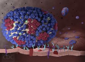 An influenza virus attacks a respiratory tract cell