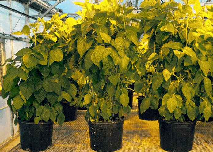 Soybeans grown in WSU greenhouse by Tegeder.