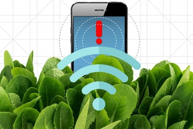 By embedding spinach leaves with carbon nanotubes, MIT engineers have transformed spinach plants into sensors that can detect explosives and wirelessly relay that information to a handheld device similar to a smartphone. Illustration: Christine Daniloff/MIT