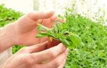 Plant tissue regeneration systems will impact the future of agriculture
