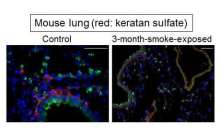 A promising approach for smoke-induced emphysema and COPD