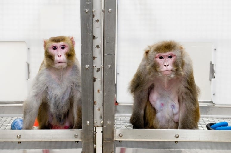 Results just in: Monkeys live long and prosper on a calorie restricted diet