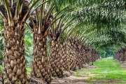 New research equips oil palm growers to better manage land and crop more sustainably