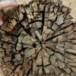 New biomass conversion tool: Fungi that eat wood