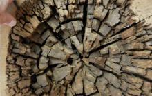 New biomass conversion tool: Fungi that eat wood