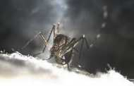 Genetically engineering mosquitoes to self-destruct