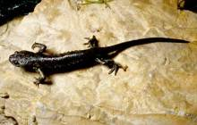 Salamander genome sequenced: May provide clues to rebuilding complex tissue and even body parts