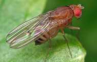 Inhibiting an enzyme common to all animals prolongs lifespan in flies and worms