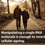 Could the manipulation of a single RNA molecule be enough to revert cellular ageing?