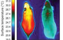 Drugs for obesity might come from a molecule that gives energy-burning brown fat its identity