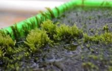 Removing arsenic from contaminated drinking water using moss results in clean useable water