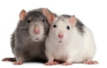 Rats are able to detect whether a child has tuberculosis (TB)