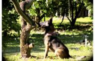 Can dogs help to sniff out agricultural diseases earlier?