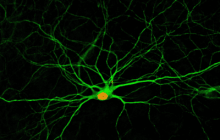 A simple drug cocktail converts cells neighboring damaged neurons into functional new neurons