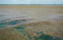 The largest bloom of macroalgae in the world stretches from West Africa to the Gulf of Mexico