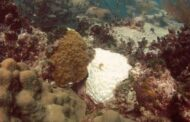 New guidelines for helping to restore coral reefs