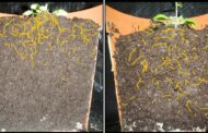 Discovered: A gene that determines whether roots grow deep or shallow in the soil