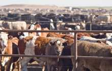 Does intensive farming increase the risk of epidemics?