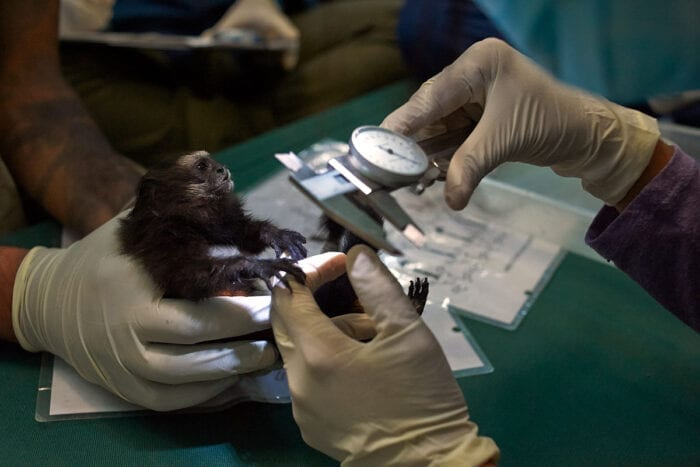 A juvenile saddleback tamarin is measured as part of an annual health check of a population of three primate species in southeastern Peru. In a perspective article published July 9 in Science, a team of wildlife biologists, infectious disease experts, and others propose a decentralized, global wildlife biosurveillance system to identify – before the next pandemic emerges – animal viruses that have the potential to cause human disease.