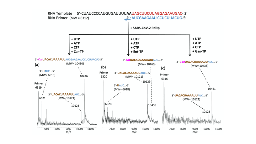 This figure shows that the incorporation of three nucleotide analogues Carbovir-5'-Triphosphate (Car-TP), Entecavir-5'-Triphosphate (Ent-TP), and Ganciclovir-5'-Triphosphate (Gan-TP) by SARS-CoV-2 polymerase terminates the viral polymerase reaction. The reaction products were detected by MALDI-TOF mass spectrometry.