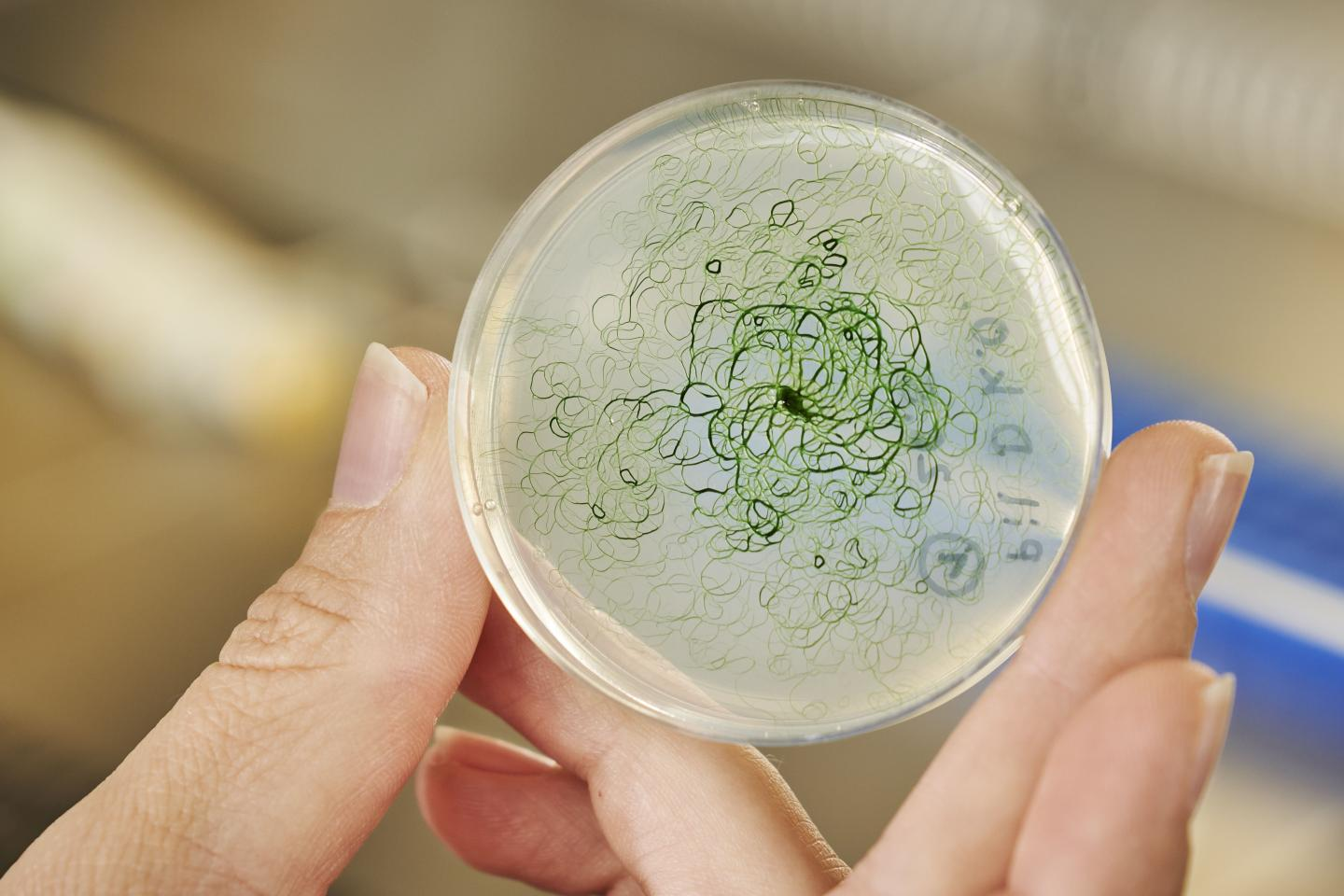 Cyanobacteria producing ethanol or hydrogen – natural gene transfer could make this possible (Photo: Amadeus Bramsiepe, KIT)