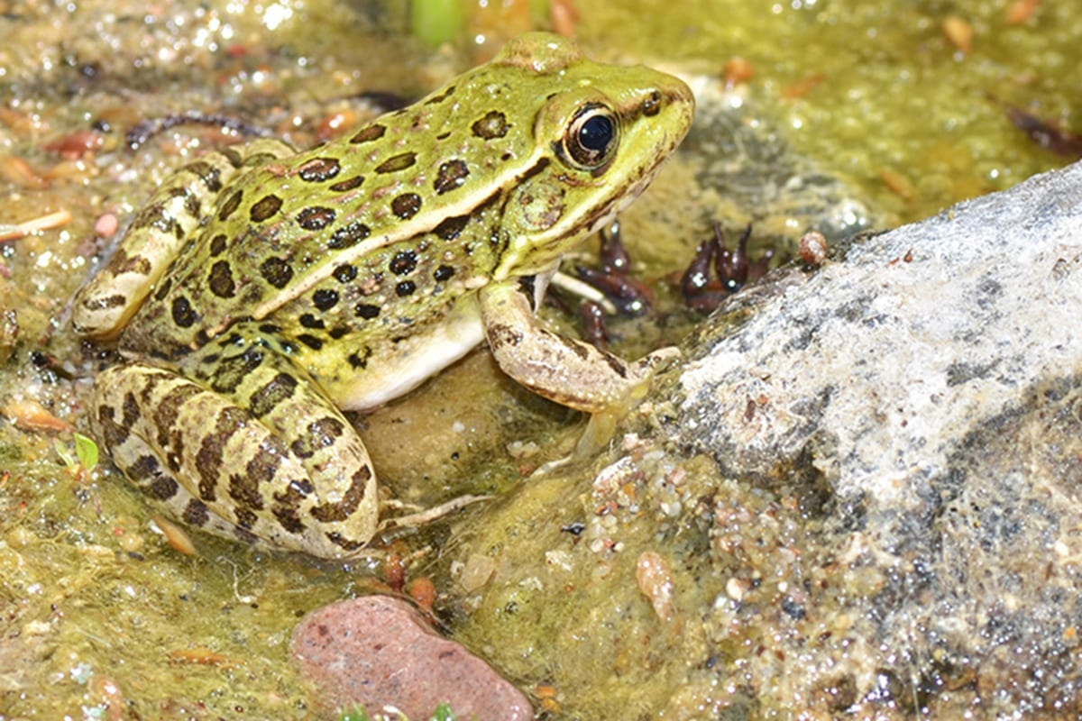 By studying the lowland leopard frog (pictured) that's found in river drainages in Arizona, UCF and Smithsonian researchers have made a breakthrough in understanding the disease that's the leading cause of global amphibian deaths. Photo credit: Veronica Urgiles, University of Central Florida Department of Biology.