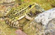 A breakthrough in the fight against the leading cause of amphibian deaths worldwide
