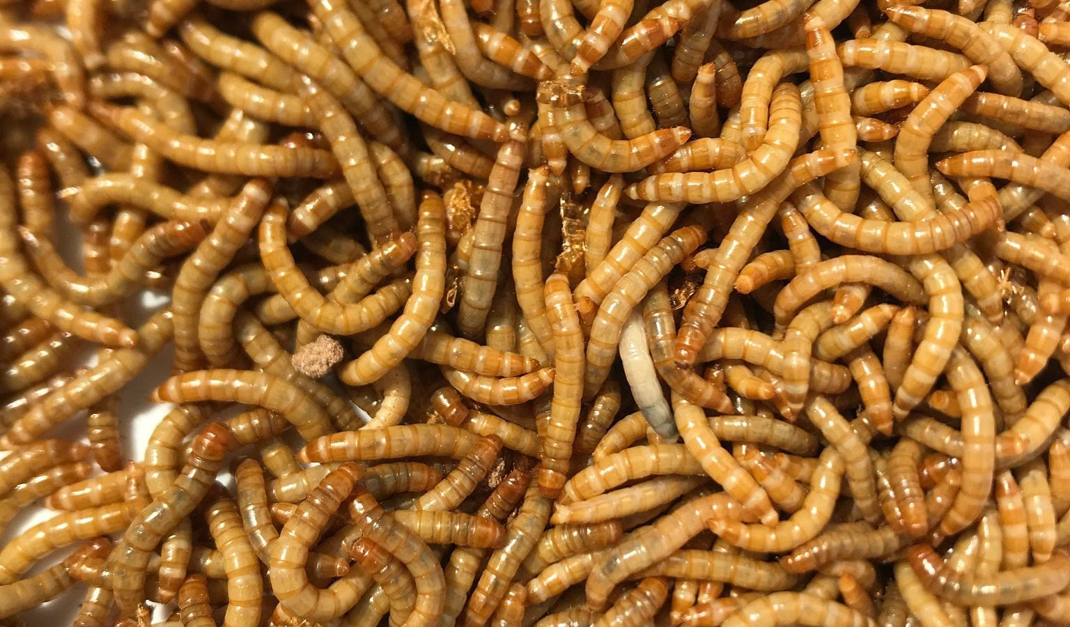 The yellow mealworm species Tenebrio molitor. An IUPUI-led study finds the insect could serve as a good alternate protein source in agriculture. Photo by Ti Eriksson, Beta Hatch